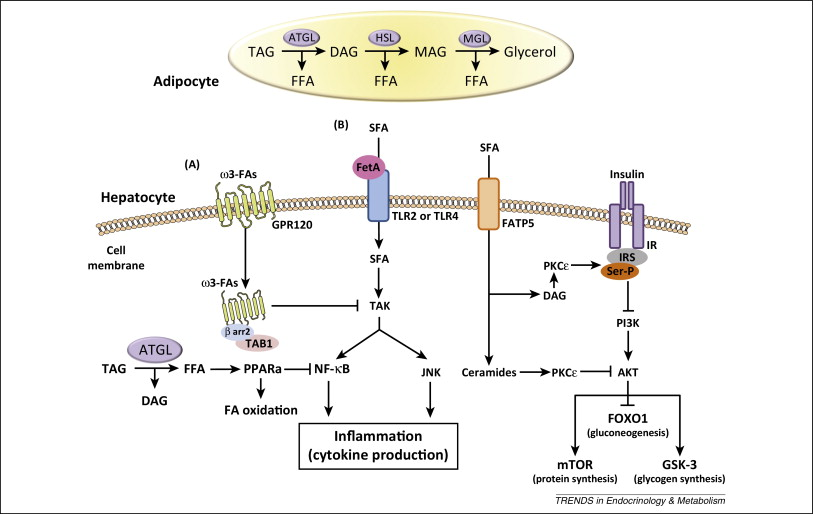 Role of metabolic lipases and lipolytic metabolites in the