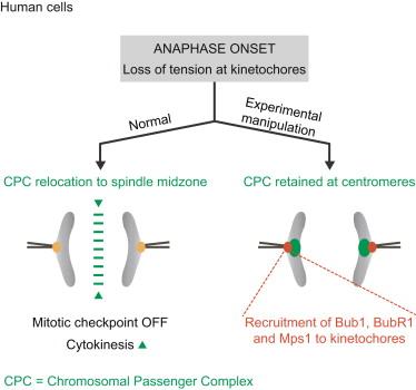Relocation of the Chromosomal Passenger Complex Prevents Mitotic