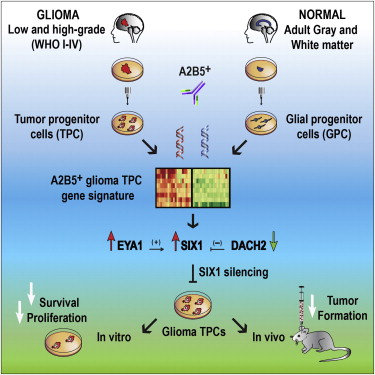 Transcriptional Differences between Normal and Glioma-Derived Glial
