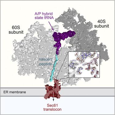 Structure of the Mammalian Ribosome-Sec61 Complex to 34 Å