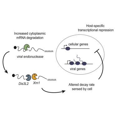 Viral Nucleases Induce an mRNA Degradation-Transcription Feedback