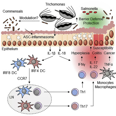 Host-Protozoan Interactions Protect from Mucosal Infections through