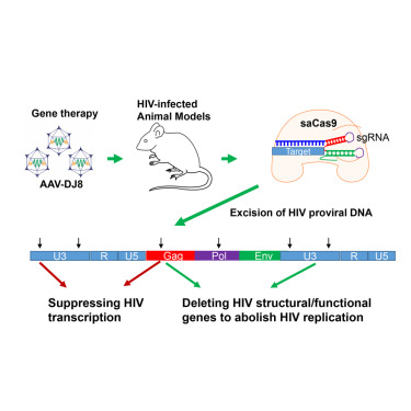 In Vivo Excision of HIV-1 Provirus by saCas9 and Multiplex Single