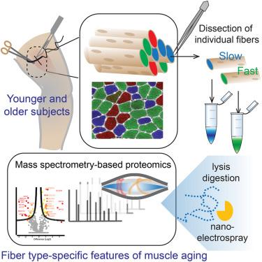 Single Muscle Fiber Proteomics Reveals Fiber-Type-Specific Features