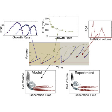 The Synchronization of Replication and Division Cycles in Individual