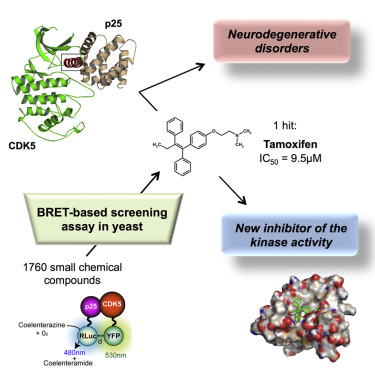 Tamoxifen Inhibits CDK5 Kinase Activity by Interacting with p35/p25