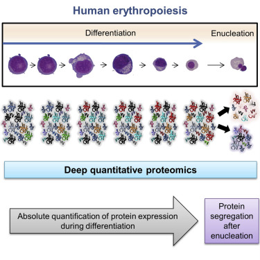 Comprehensive Proteomic Analysis of Human Erythropoiesis Cell Reports