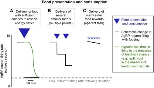 Toward a Wiring Diagram Understanding of Appetite Control Neuron