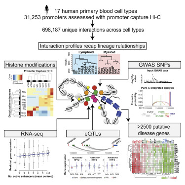 Lineage-Specific Genome Architecture Links Enhancers and Non-coding