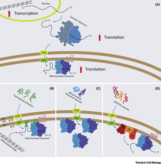 Plasticity of Mitochondrial Translation Trends in Cell Biology