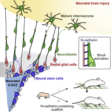 Radial Glial Fibers Promote Neuronal Migration and Functional