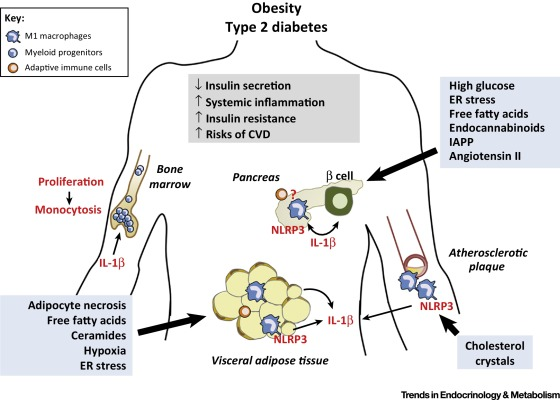 The IL-1 Pathway in Type 2 Diabetes and Cardiovascular Complications