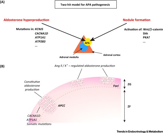 Local Control of Aldosterone Production and Primary Aldosteronism