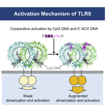 Toll-like Receptor 9 Contains Two DNA Binding Sites that Function