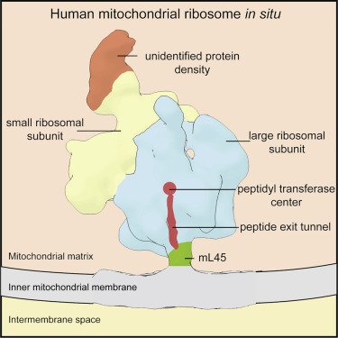 Structure of the Human Mitochondrial Ribosome Studied In Situ by