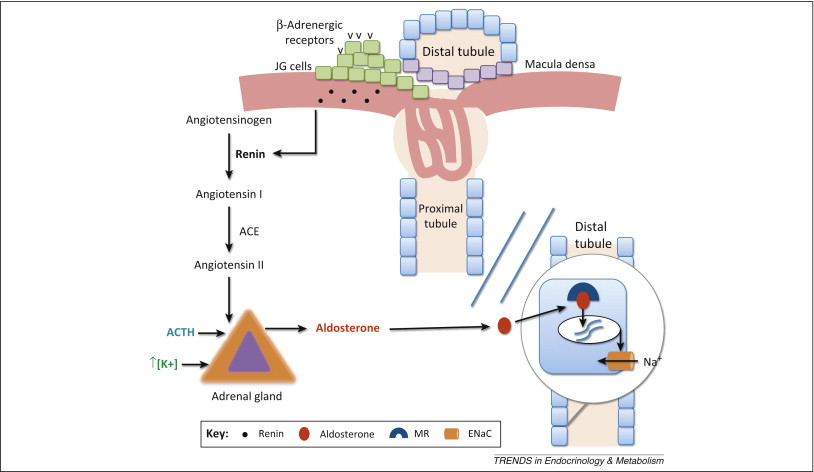 Primary aldosteronism emerging trends Trends in Endocrinology