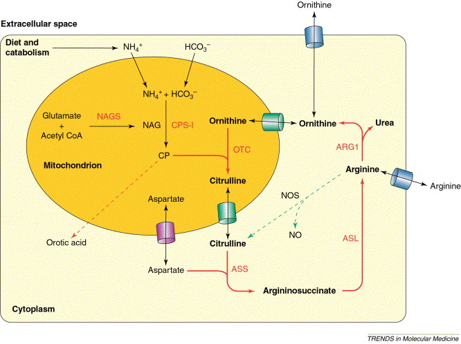 Urea-cycle disorders as a paradigm for inborn errors of hepatocyte - urea cycle