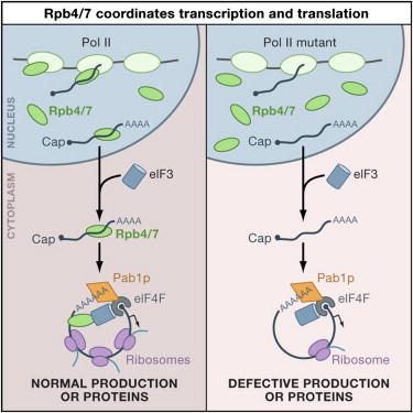 RNA Polymerase II Subunits Link Transcription and mRNA Decay to