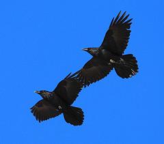 Du corbeau dans les traditions indo-européennes
