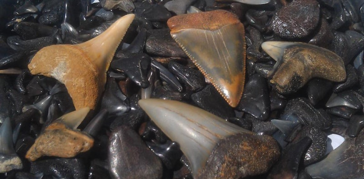 Hunting for Shark Teeth and Other Beach Treasures on Topsail Island