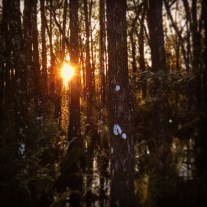 Sunset through the trees - Six Mile Cypress