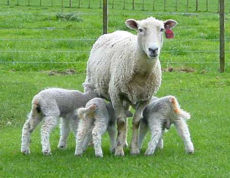 Management of Triplet Ewes - A summary of information
