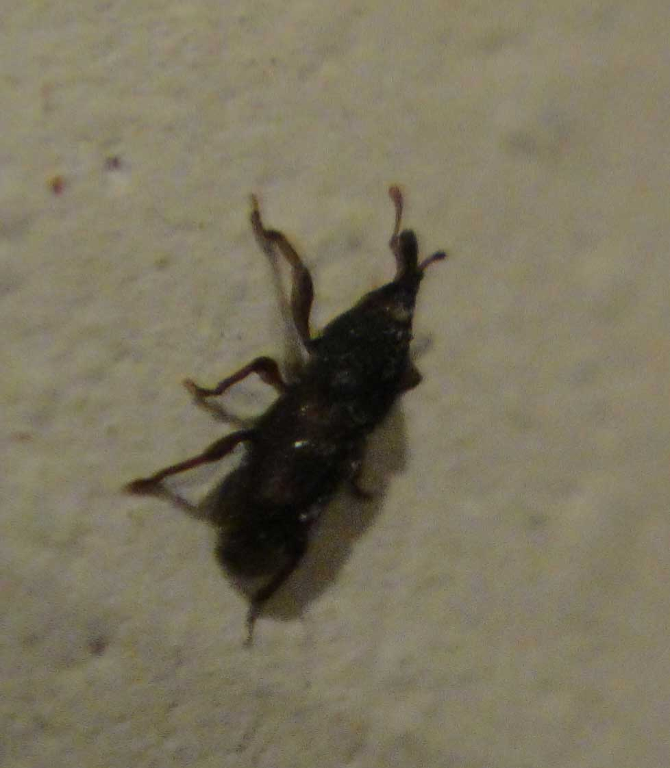 Little black worms in bathroom - Small Black Beetle In Bathroom Small Black Beetle In Bathroom Small Black Beetle In Bathroom