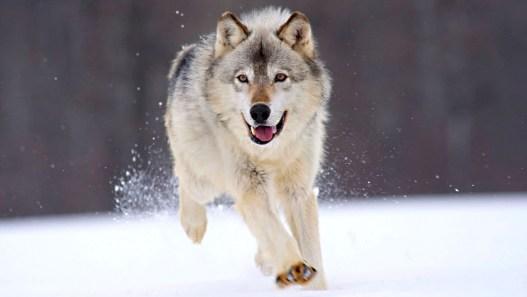 running-wolf-1680x945-wallpaper-1986