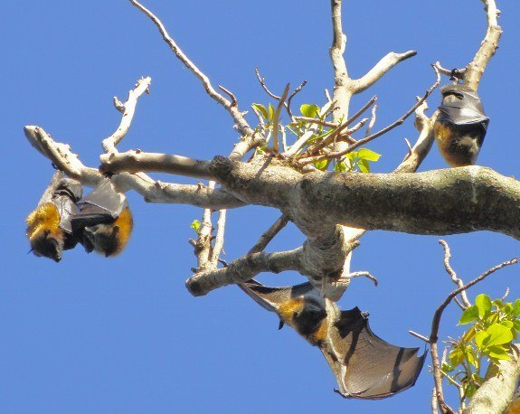 Free things to do in Sydney Royal Botanical gardens bats