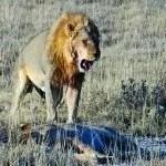 Etosha National Park Namibia lion
