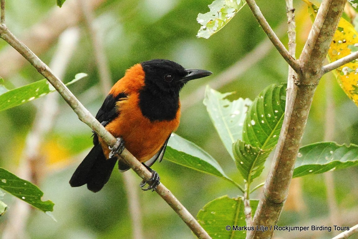 Hooded Pitohui The First Documented Poisonous Bird