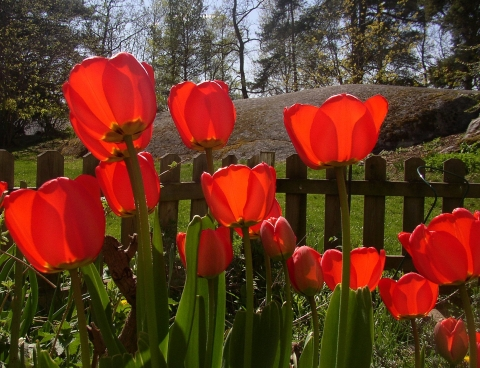 red-tulips.jpg
