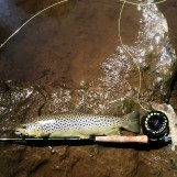 Carter's Brown Trout