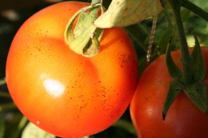 brown spots on tomato