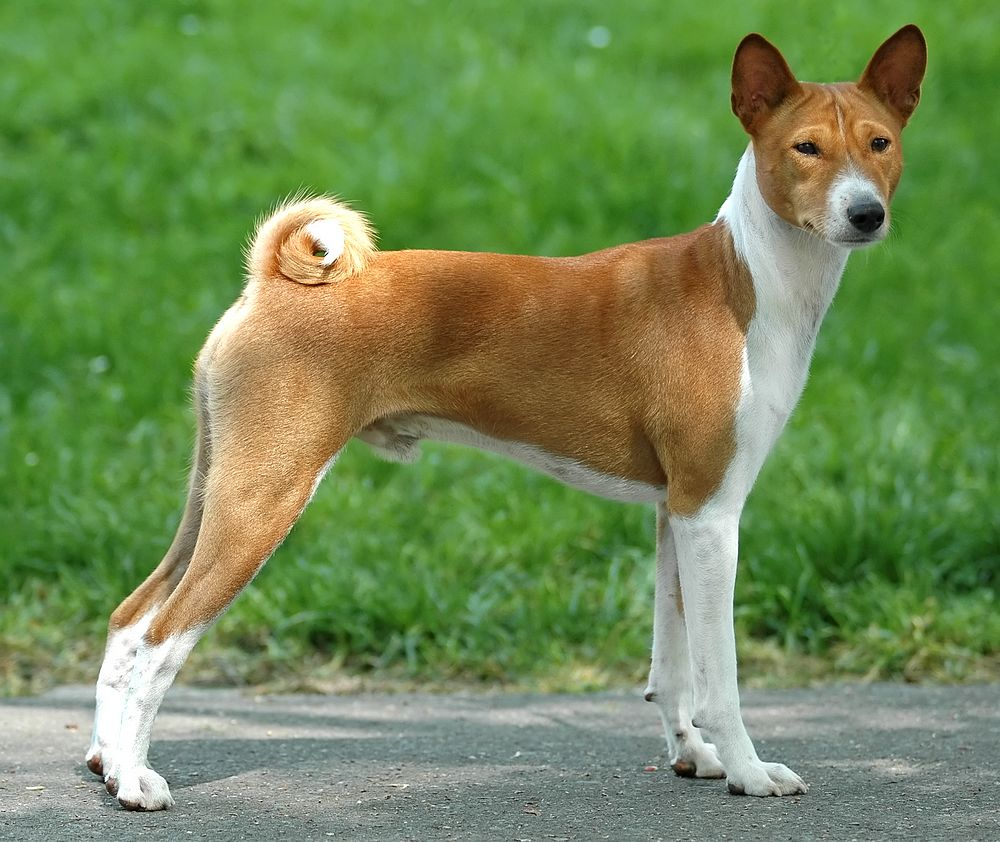 dumbest dog breed in the world