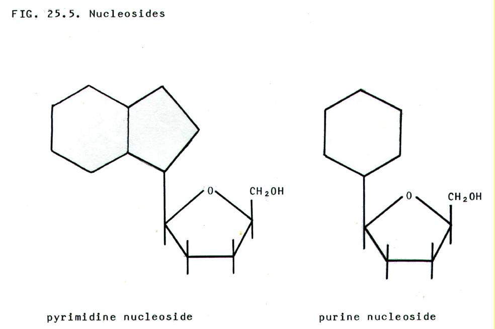 nitrogeneous base dna diagram