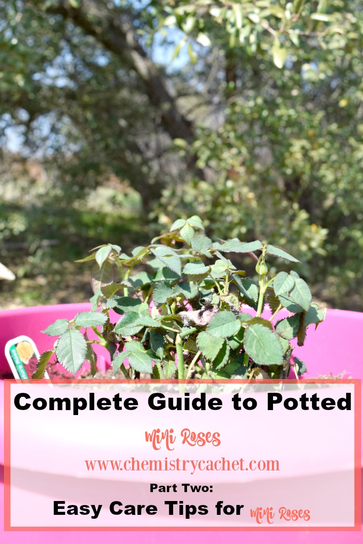 how to take care of potted roses