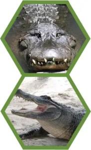 allicrocs