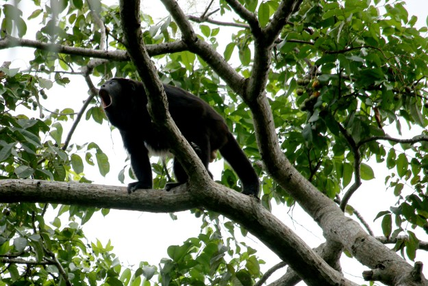 Howler Monkey, howling