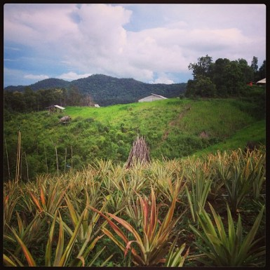 Pineapple garden and a view to mountains