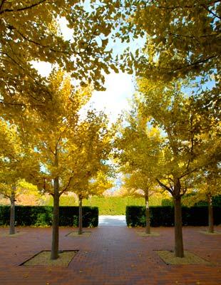 Birch Tree Fall Wallpaper Early Fall Wows Chicago Botanic Garden