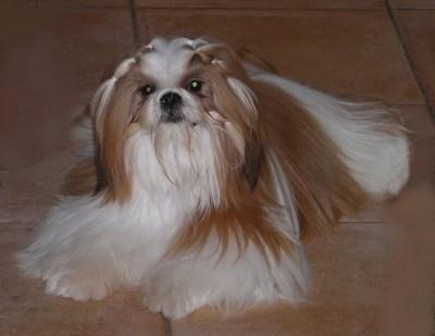 Im the boss from audreys paradis chien de race toutes races en tous departements France inscrit ...