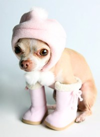 Chihuahua Clothes - News on the latest chihuahua ...