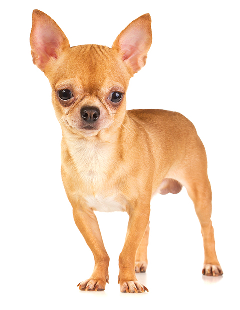 Cute Boy Cartoon Wallpaper Why Chihuahuas Shake And Shiver