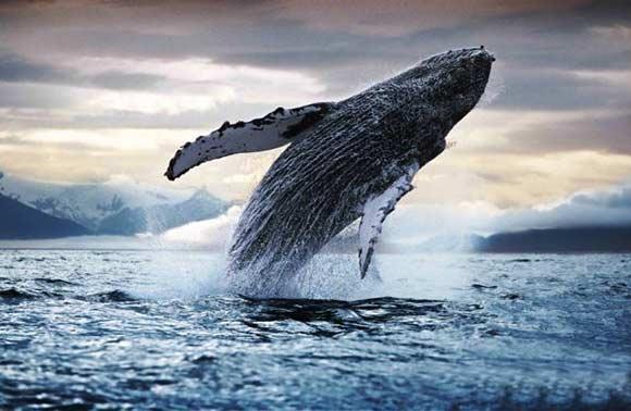 Resultado de imagen para ballena azul chile