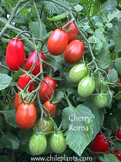 tomatoes cherry tomato plants produce loads of small sized goodness