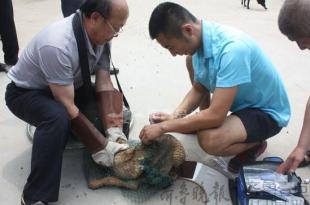 在青岛,宠物医生给流浪狗注射狂犬疫苗。