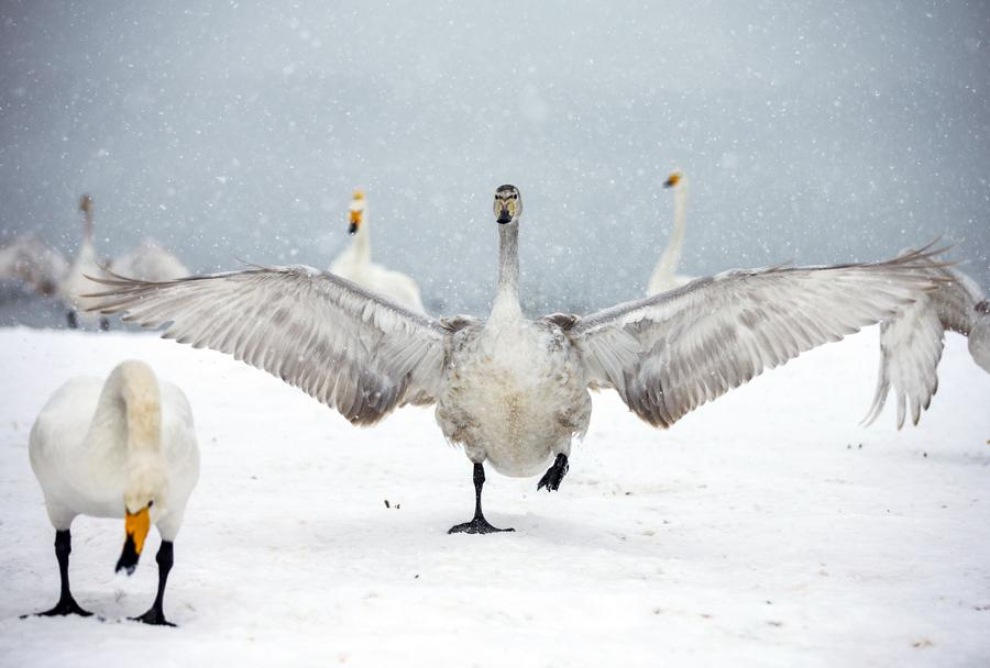 Wild swans add lively flavor to snowy scene1- Chinadailycn