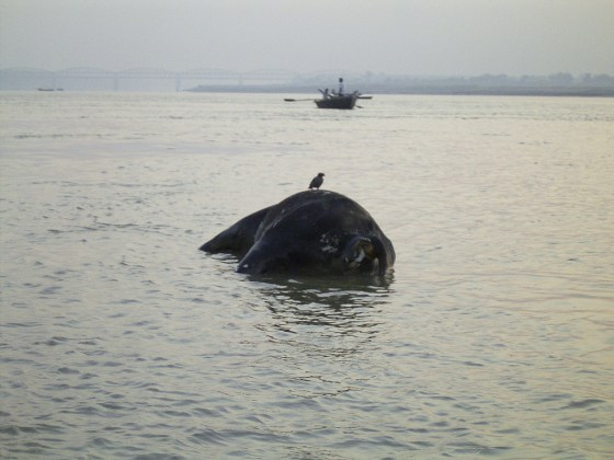 The corpse of a cow in the Ganges River.