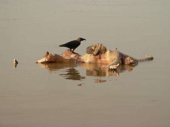 A bloated corpse floating in the Ganges.